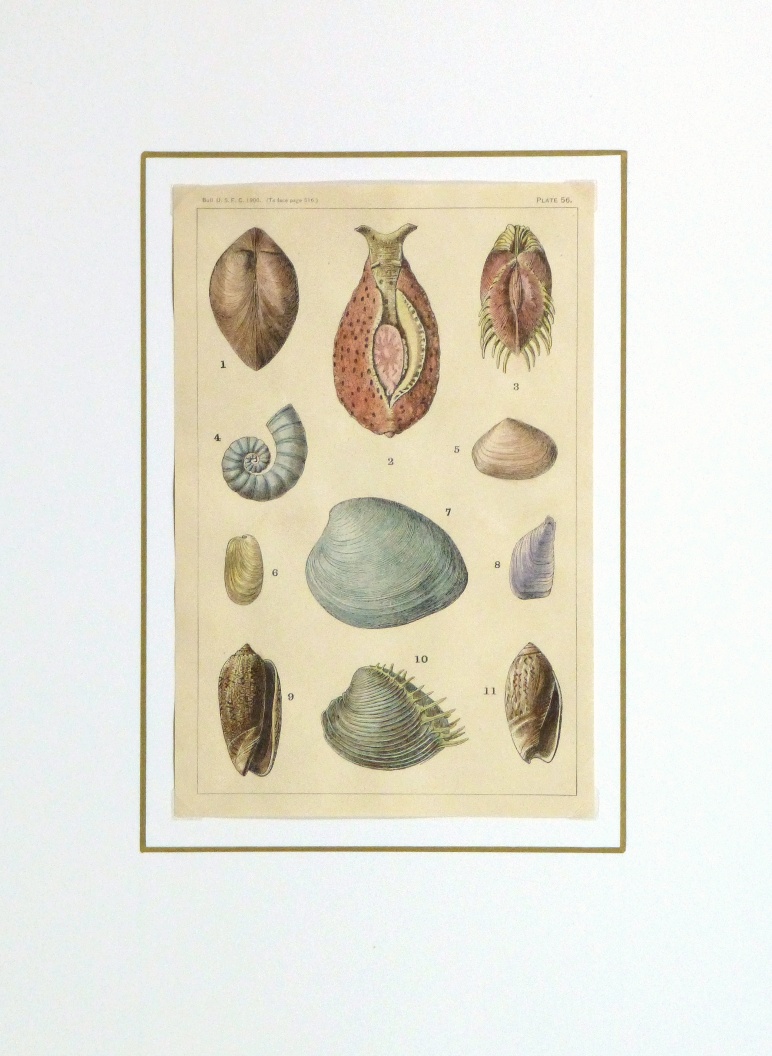 Shell Print, 1900-matted-10459M