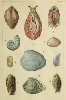 Shell Print, 1900-main-10459M