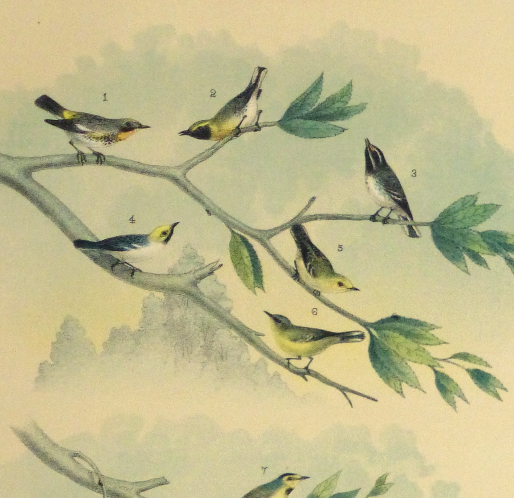 Lithograph- North American Songbirds, 1881-detail 2-10542M