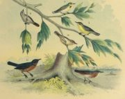 Lithograph- North American Songbirds, 1881-detail-10542M
