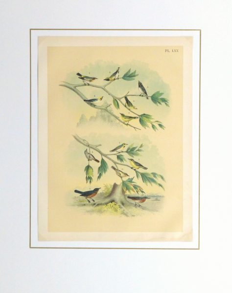 Lithograph- North American Songbirds, 1881-matted-10542M