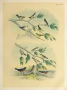 Lithograph- North American Songbirds, 1881-main-10542M