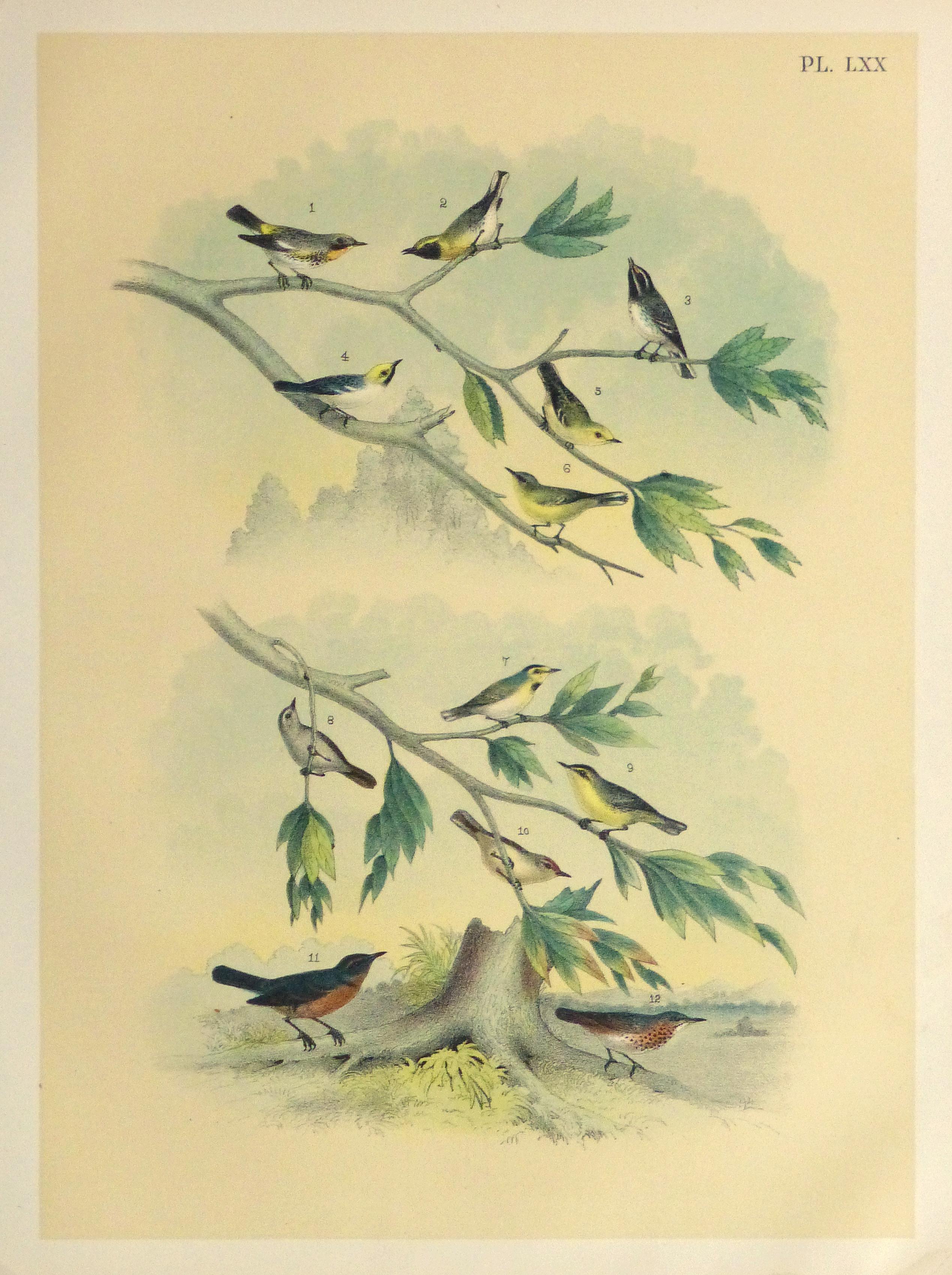 Lithograph- North American Songbirds, 1881-main-10542M