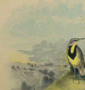 Lithograph- Meadowlarks, 1881-detail 2-10543M