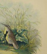 Lithograph- Meadowlarks, 1881-detail-10543M