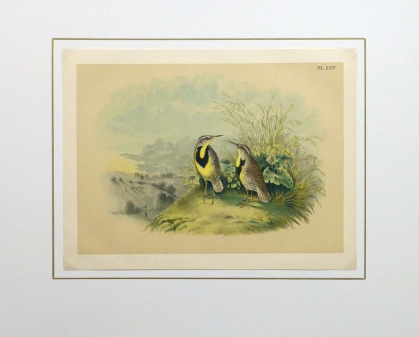 Lithograph- Meadowlarks, 1881-matted-10543M