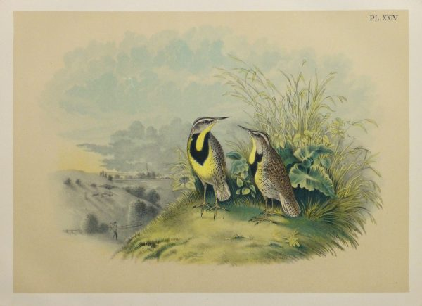 Lithograph- Meadowlarks, 1881-main-10543M