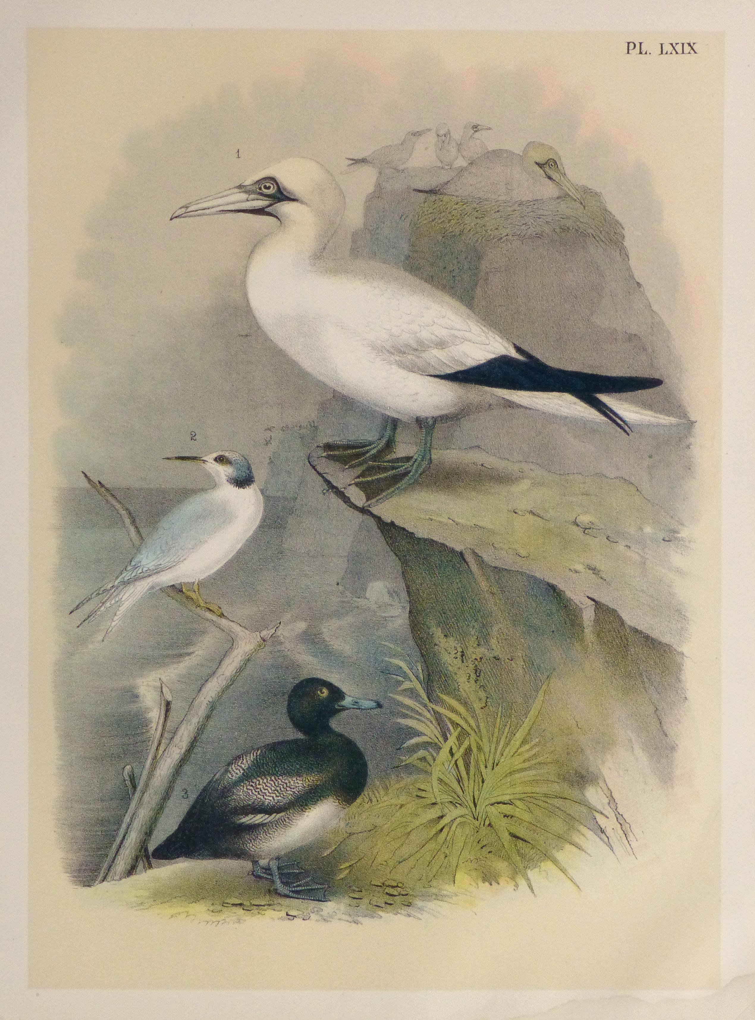 Lithograph- Sea Birds, 1881-main-10544M