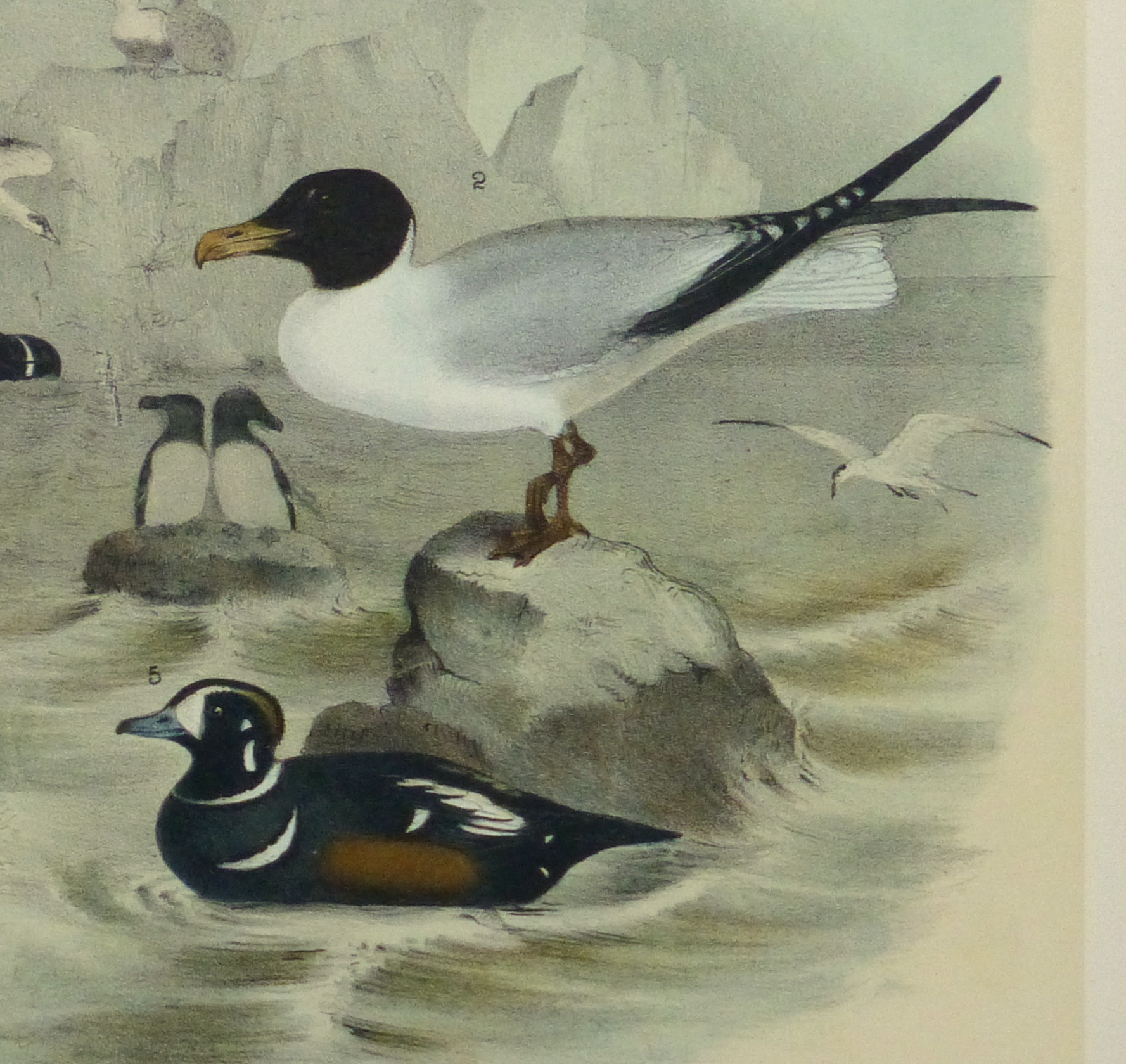 Lithograph- Black & White Sea Birds, 1881-detail 2-10545M