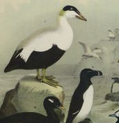 Lithograph- Black & White Sea Birds, 1881-detail-10545M