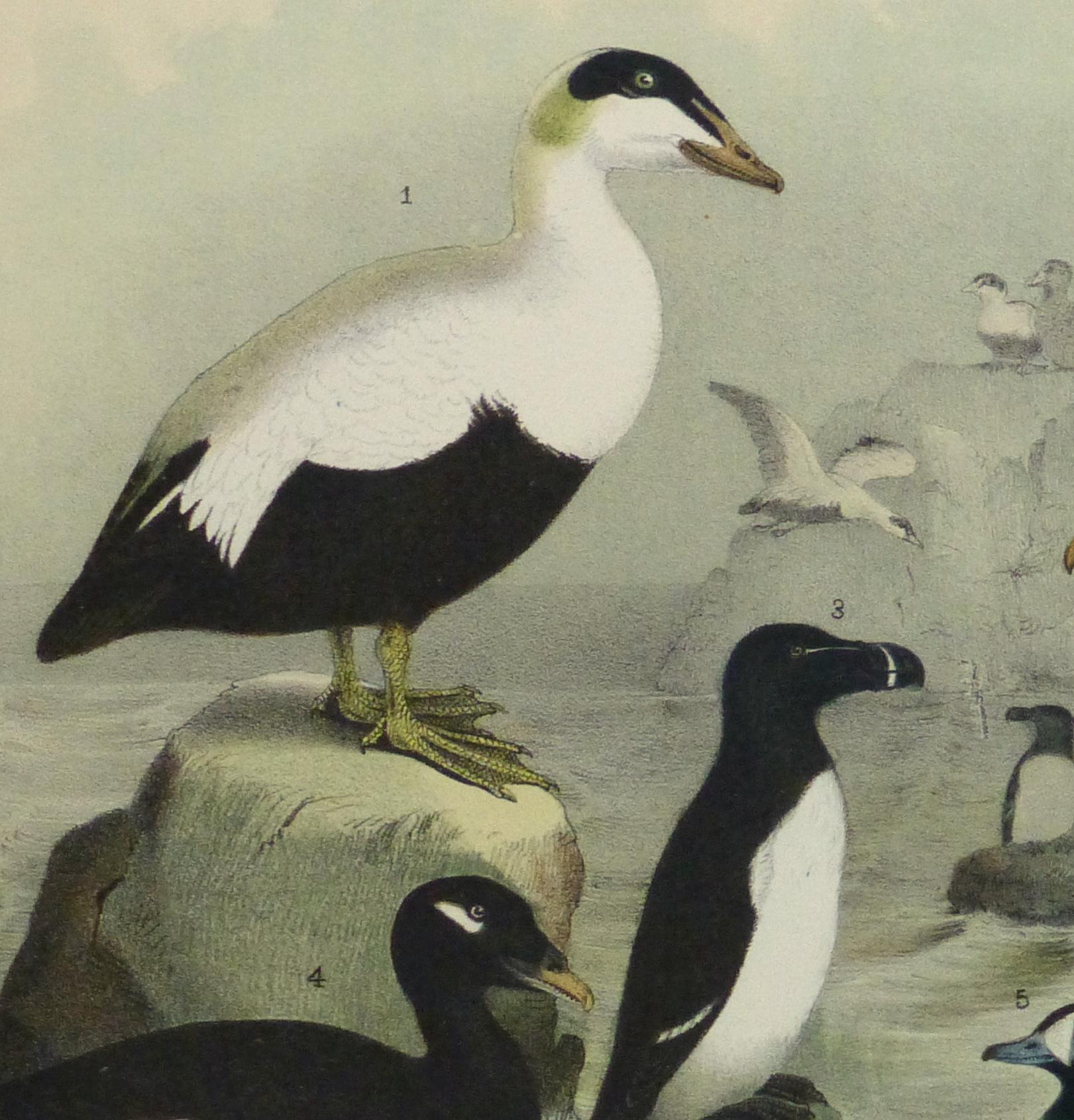Lithograph- Black & White Sea Birds, 1881-detail-10545M