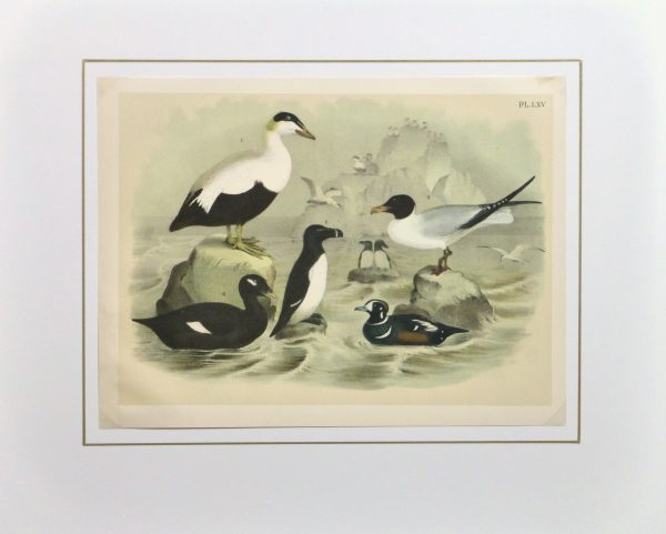 Lithograph- Black & White Sea Birds, 1881-matted-10545M