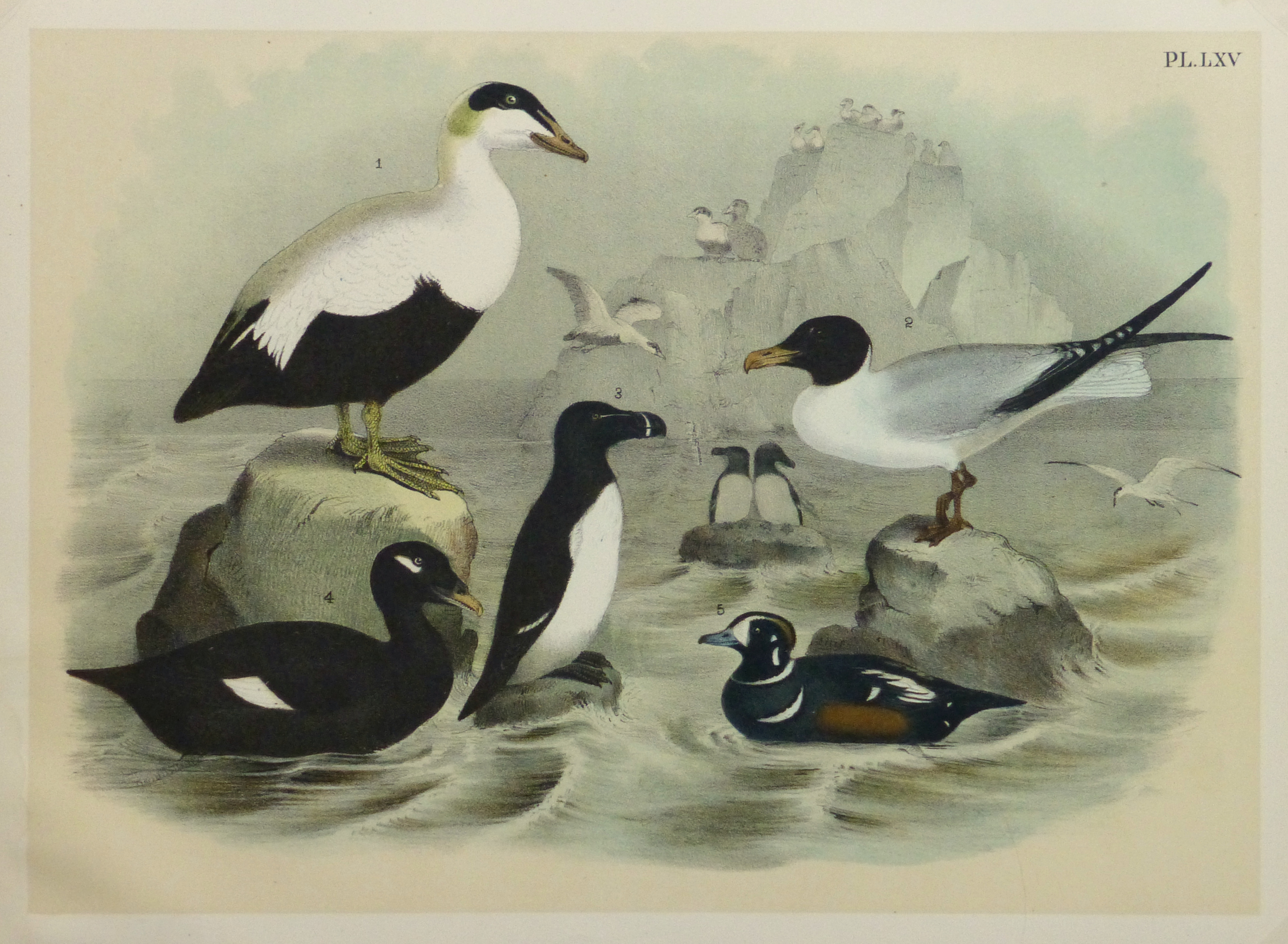 Lithograph- Black & White Sea Birds, 1881-main-10545M