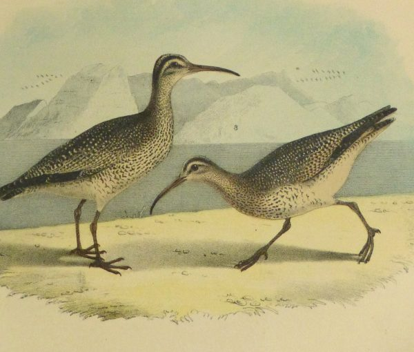 Lithograph- Sandpipers, 1881-detail-10546M