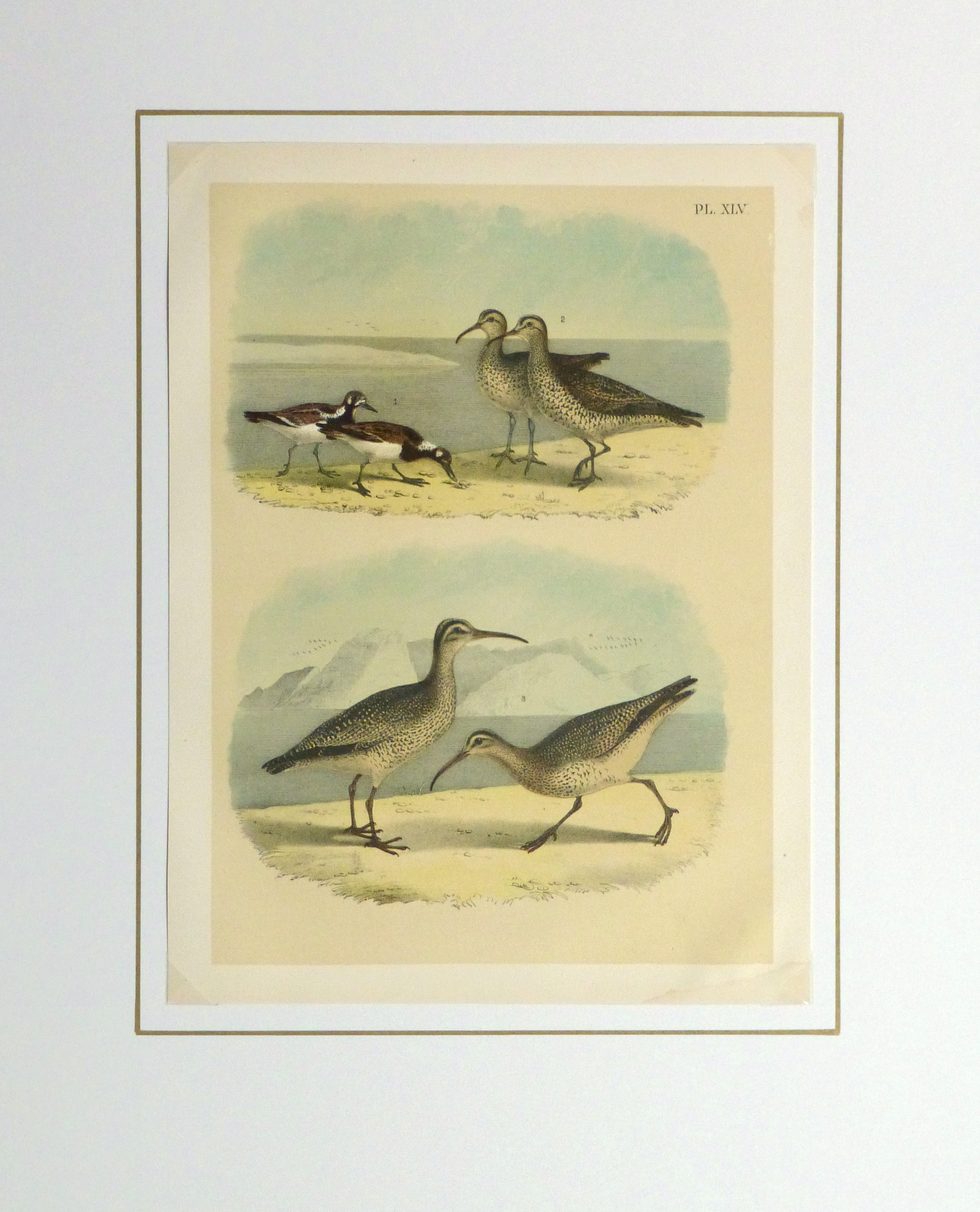 Lithograph- Sandpipers, 1881-matted-10546M