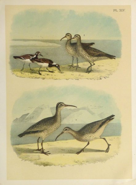 Lithograph- Sandpipers, 1881-main-10546M