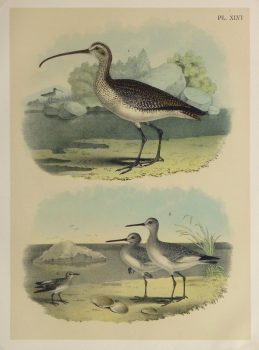 Lithograph- Sandpipers, 1881-main-10547M