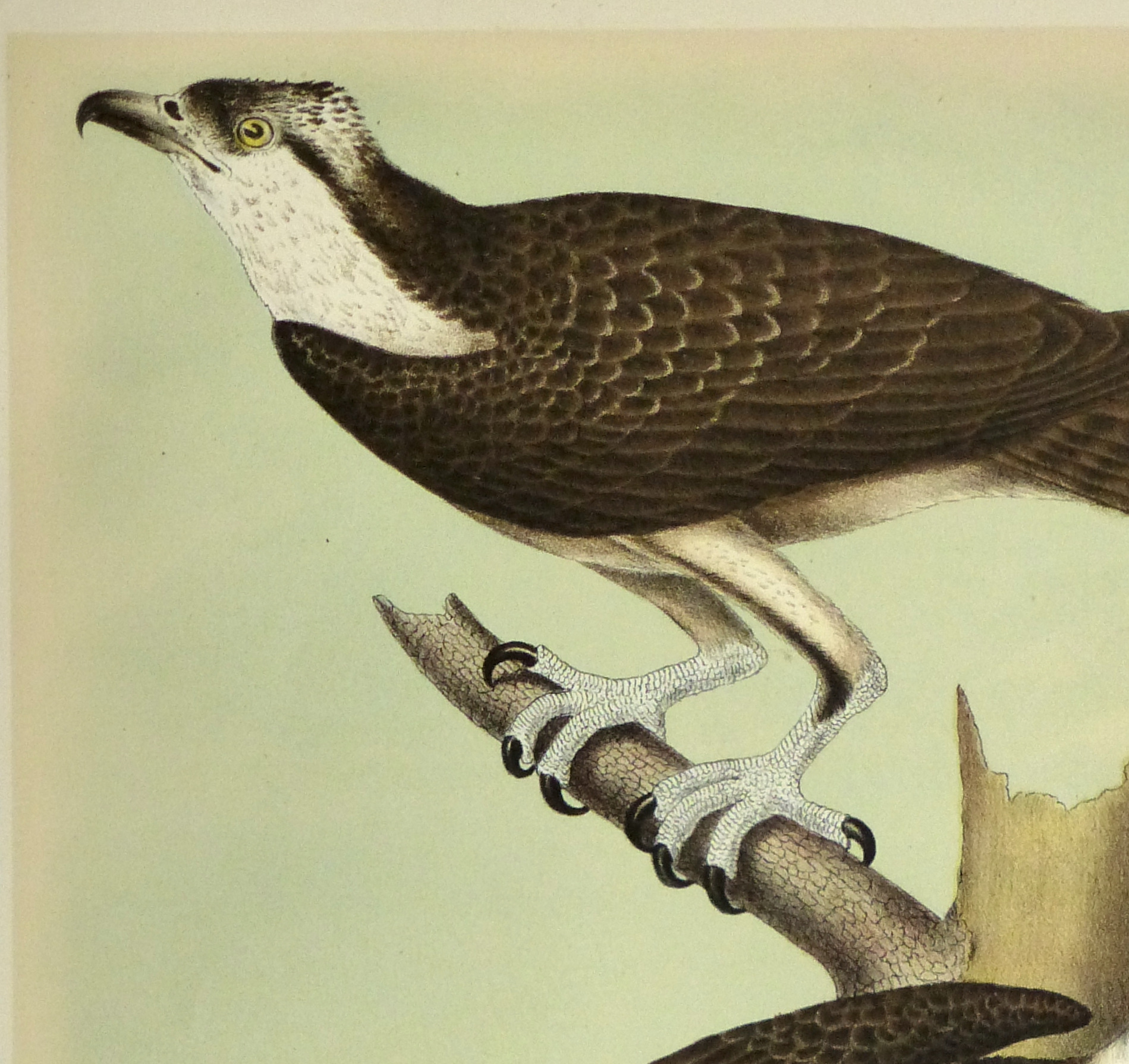 Lithograph- Osprey, 1881-detail 2-10548M