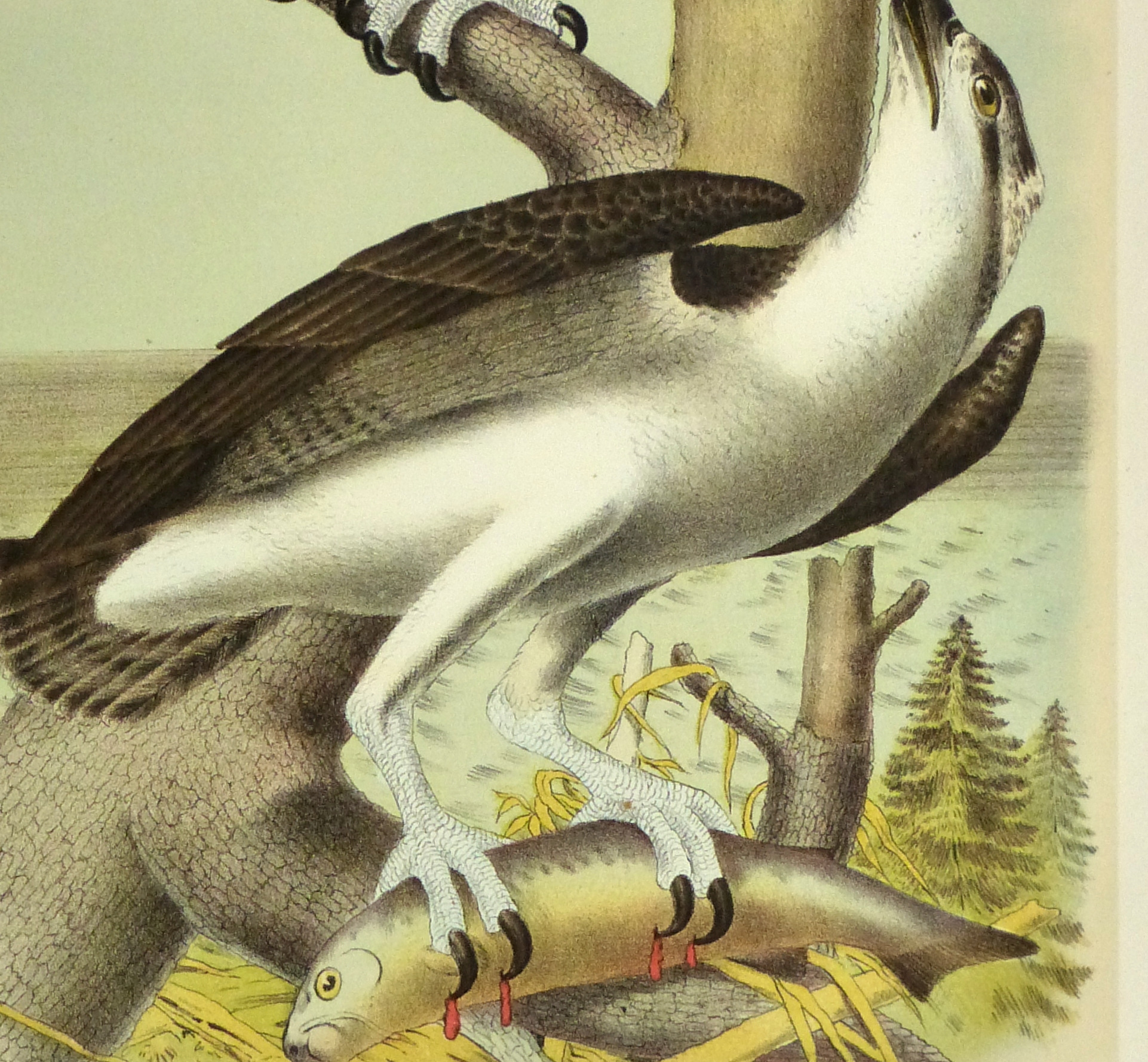 Lithograph- Osprey, 1881-detail-10548M
