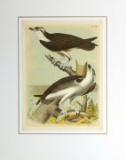 Lithograph- Osprey, 1881-matted-10548M