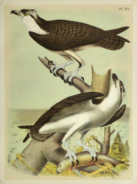 Lithograph- Osprey, 1881-main-10548M