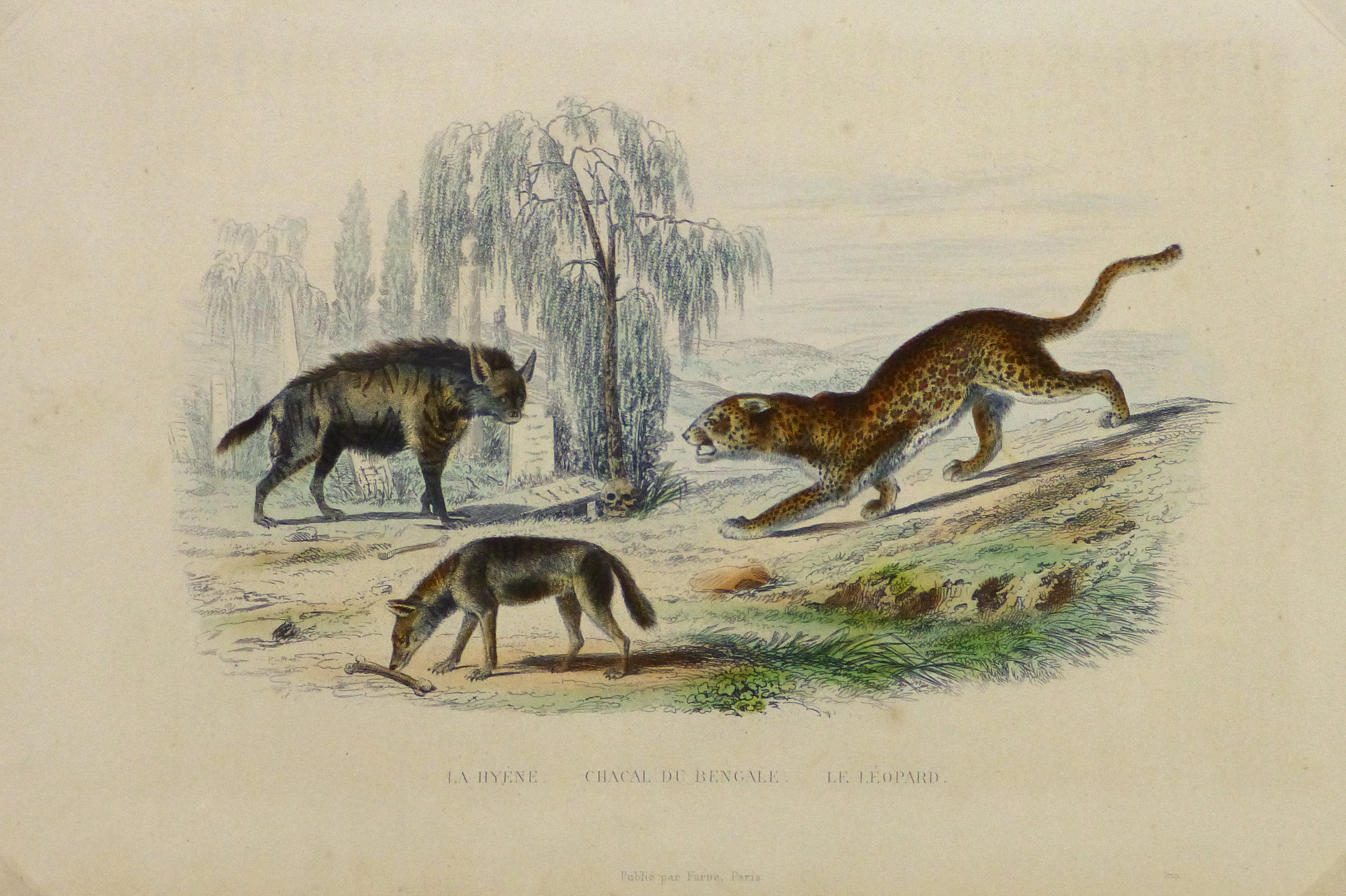 Hyena, Jackal and Leopard Engraving , Circa 1850-main-10638M