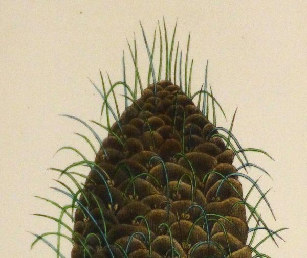 Silver Fir Pine Cone Engraving, Circa 1850-detail 2-10639M