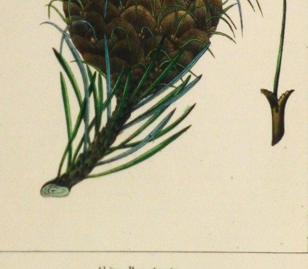 Silver Fir Pine Cone Engraving, Circa 1850-detail-10639M