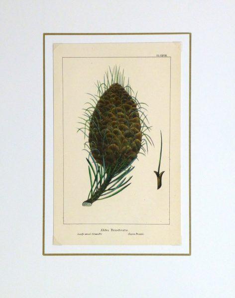 Silver Fir Pine Cone Engraving, Circa 1850-matted-10639M