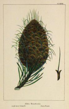 Silver Fir Pine Cone Engraving, Circa 1850-main-10639M