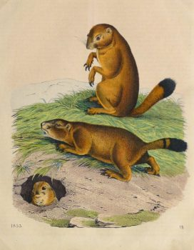 Prairie Dogs Engraving ,1853-main-10640M