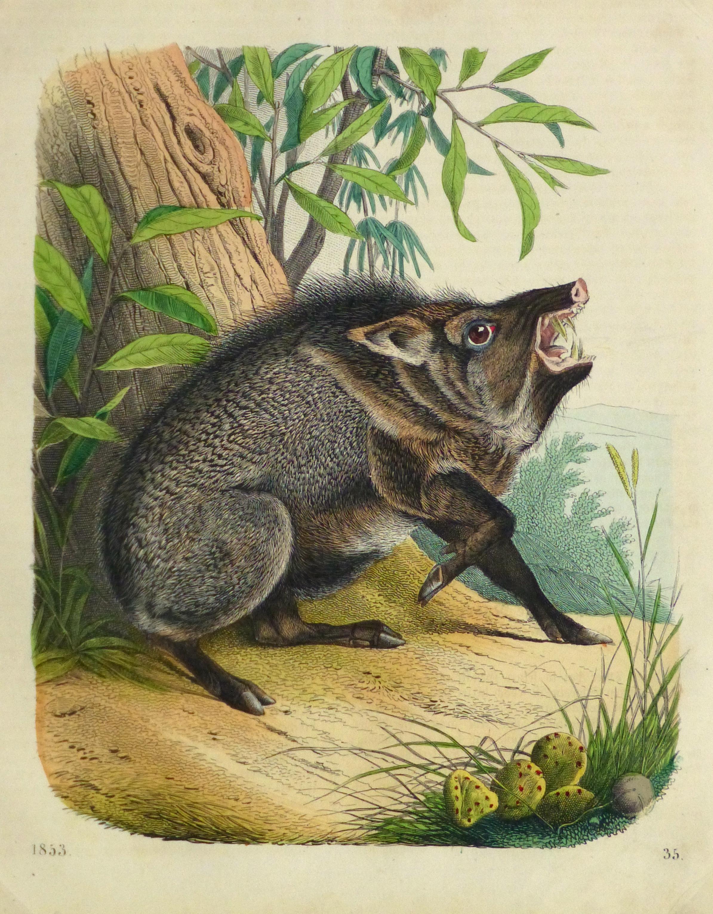Wild Pig Engraving ,1853-main-10641M