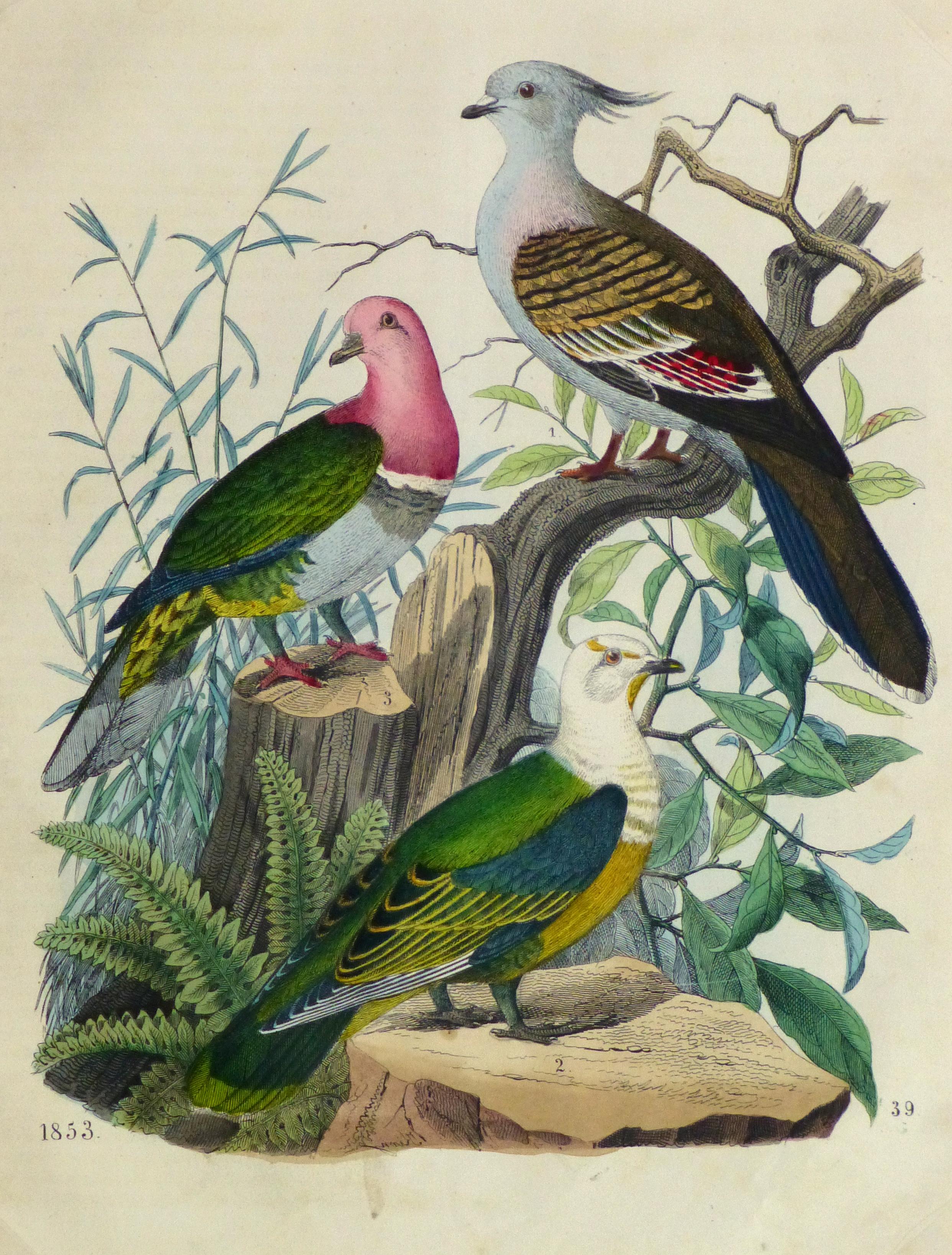 Vivid Pigeons Engraving,1853-main-10642M