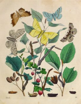 Butterflies & Botanical Engraving, 1853-main-10643M