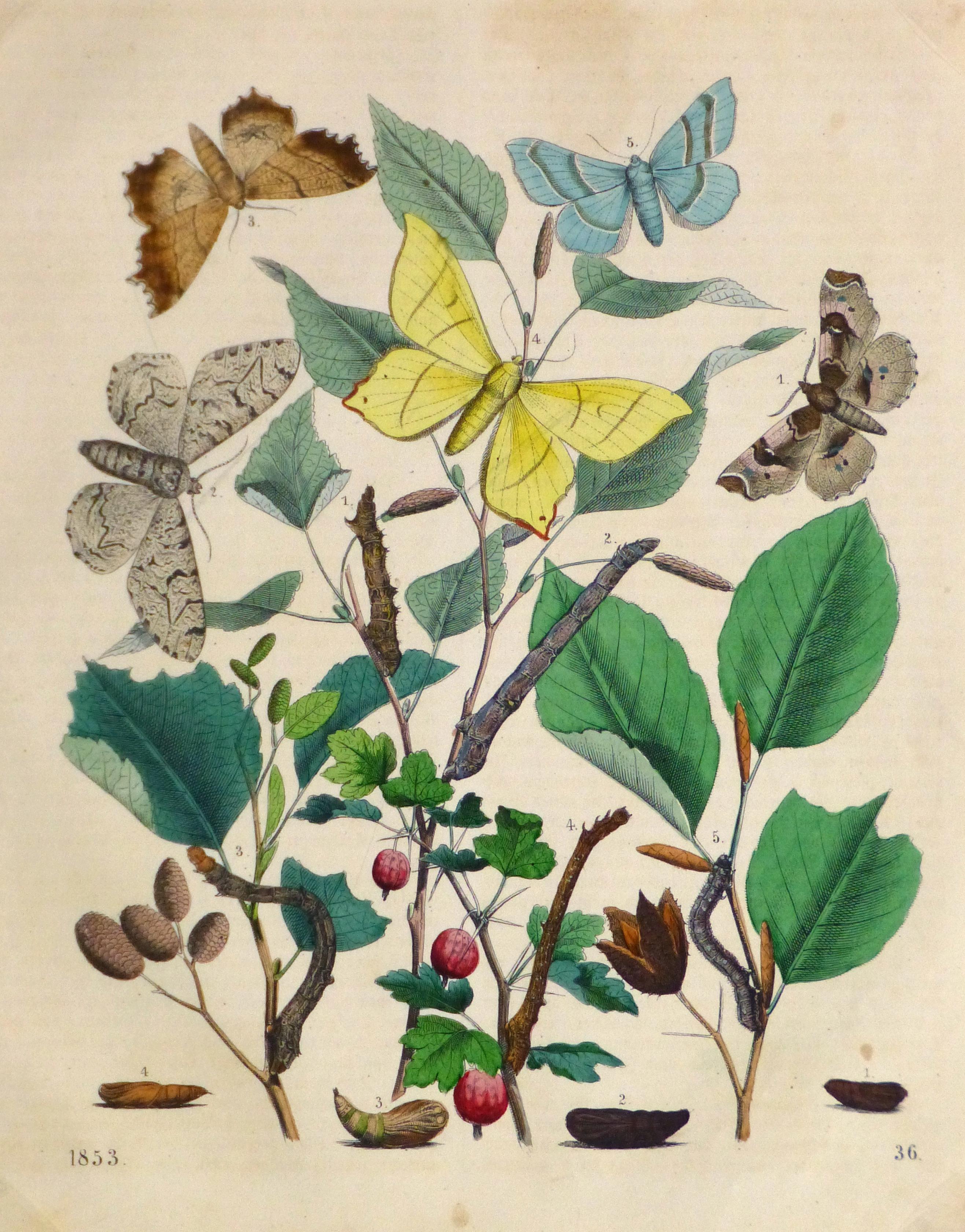 Butterflies & Botanical Engraving, 1853-main-10643M