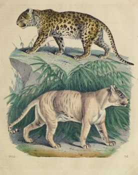 Leopard & Tiger Engraving, 1853-main-10644M