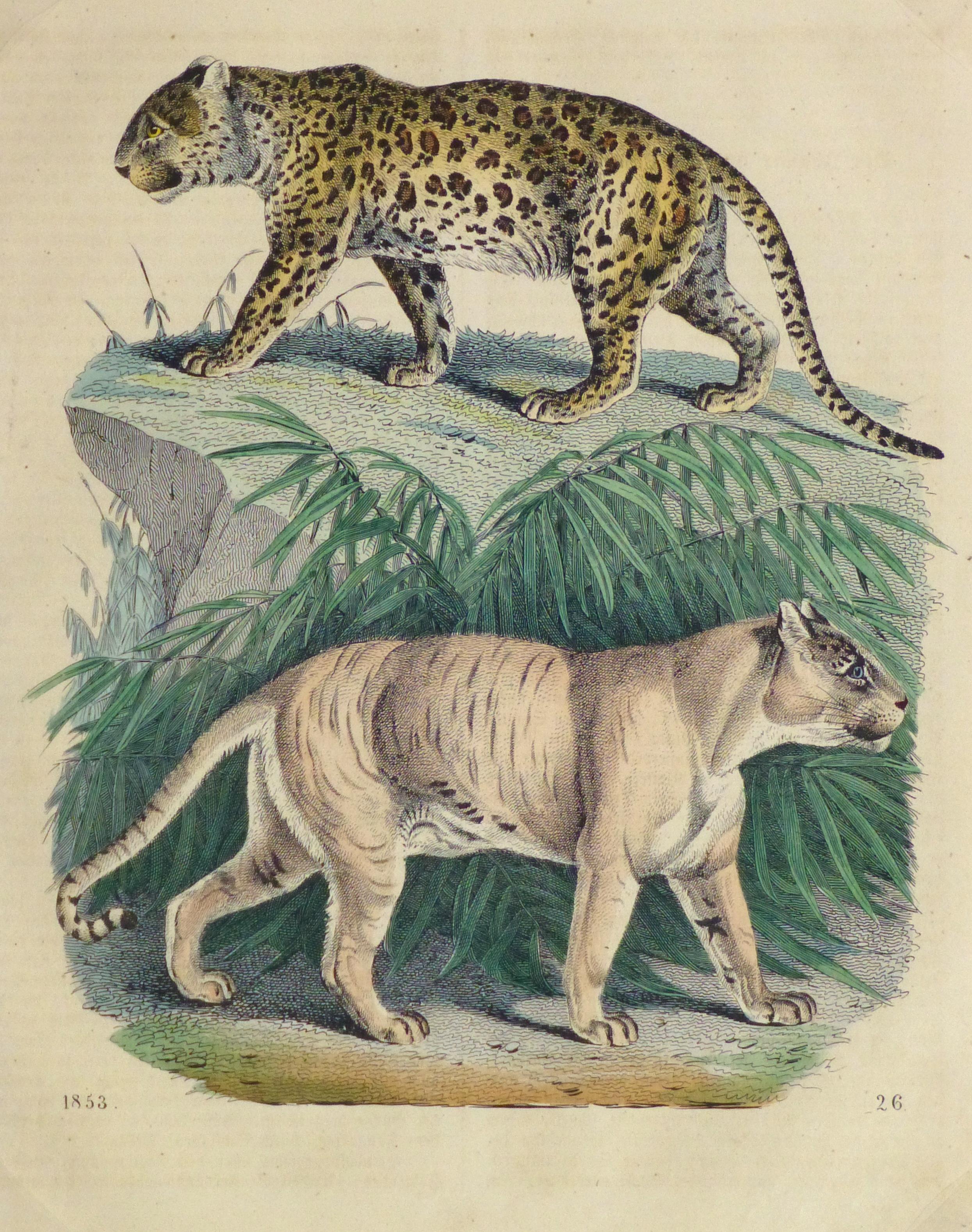 Leopard & Tiger Engraving, 1853-main-10644M