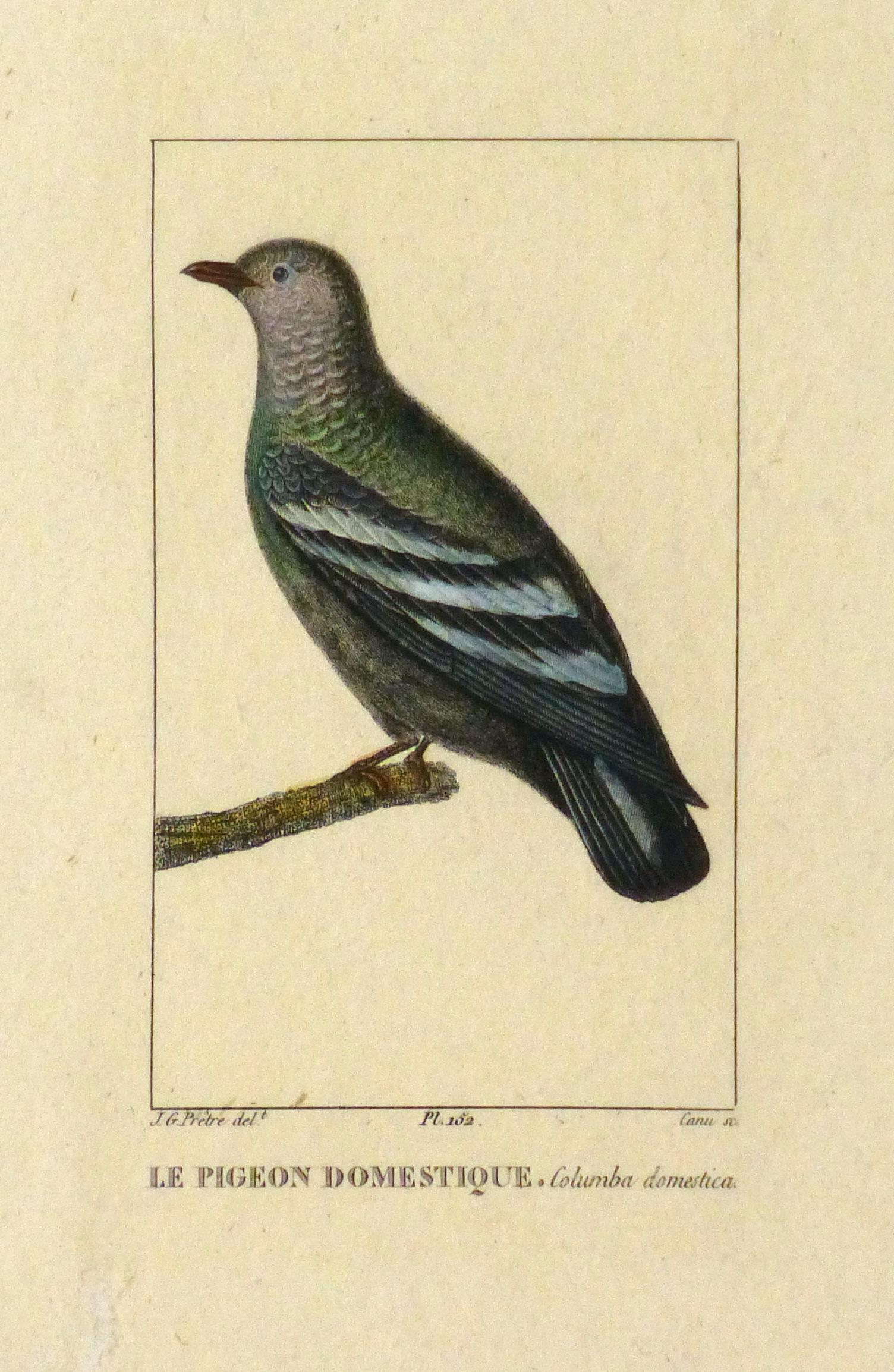 Domestic Pigeon Engraving, Circa 1830-main-10645M