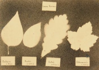Ink Drawing - Leaf Forms, Circa ?-main-7533G