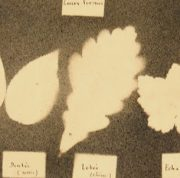 Ink Drawing - Leaf Forms, Circa ?-detail-7533G