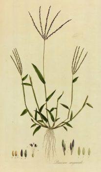 Botanical Print, Circa 1795-main-K4886