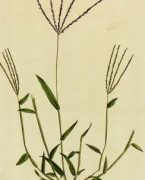 Botanical Print, Circa 1795-detail-K4886