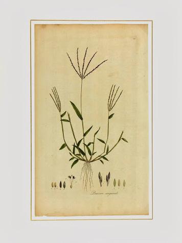 Botanical Print, Circa 1795-matted-K4886